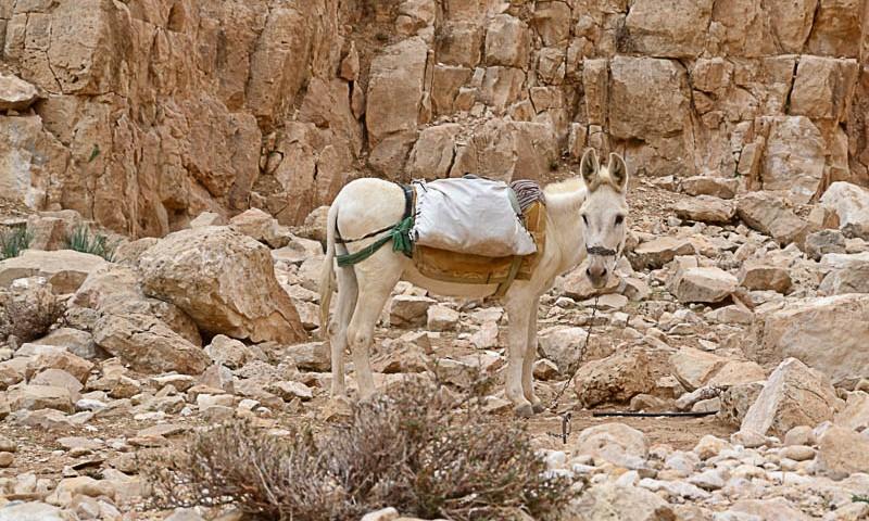 L'âne tétu